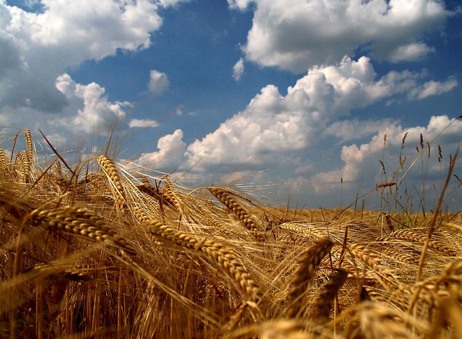 Pod slavonskim nebom  Foto: Jasmina Gorjanski  Ključne riječi: polje nebo slavonija zito