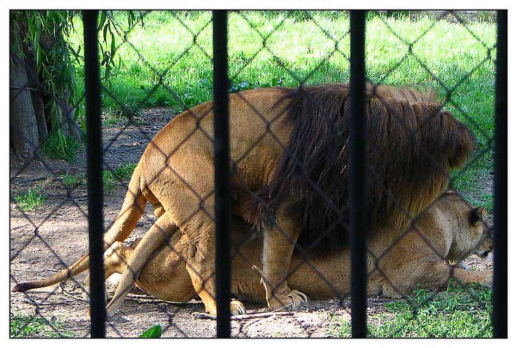 Bit će lavića!   Photo: [url=http://www.osijek031.com/profile.php?mode=viewprofile&u=352]kcimer[/url] [url=http://compactmagic.blog385.com]compactmagic blog[/url]  Ključne riječi: osijek zoo