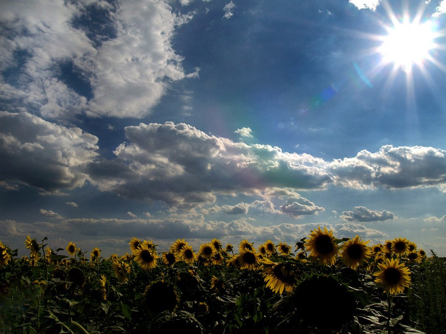 Ispod sunca  Foto: Jasmina Gorjanski  Ključne riječi: polje sunce oblaci nebo suncokret gorjanski