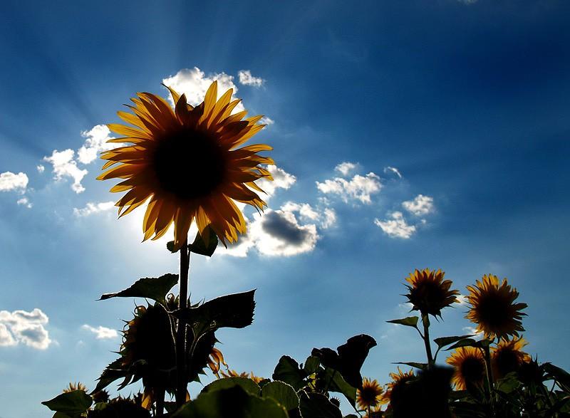 Suncoštit  Foto: Jasmina Gorjanski  Ključne riječi: nebo suncokret sunce gorjanski