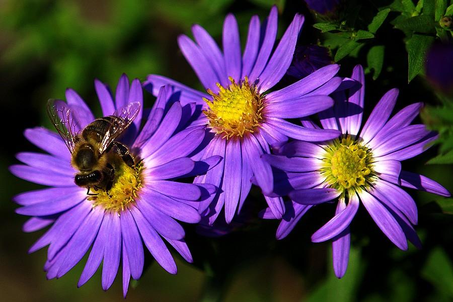 Jesenji posao  Foto: Jasmina Gorjanski  Ključne riječi: cvijet oprasivanje pcela