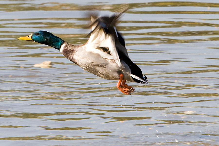 Osječka patka  Foto: steam  Ključne riječi: patka