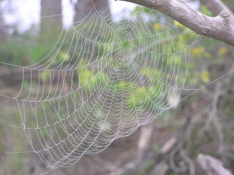 Navlazena paucina  Ključne riječi: Debeli
