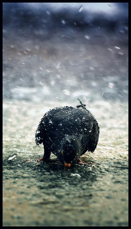 U vodi pod vodom  Foto: [b]Samir Kurtagić[/b]   Ključne riječi: voda golub kisa