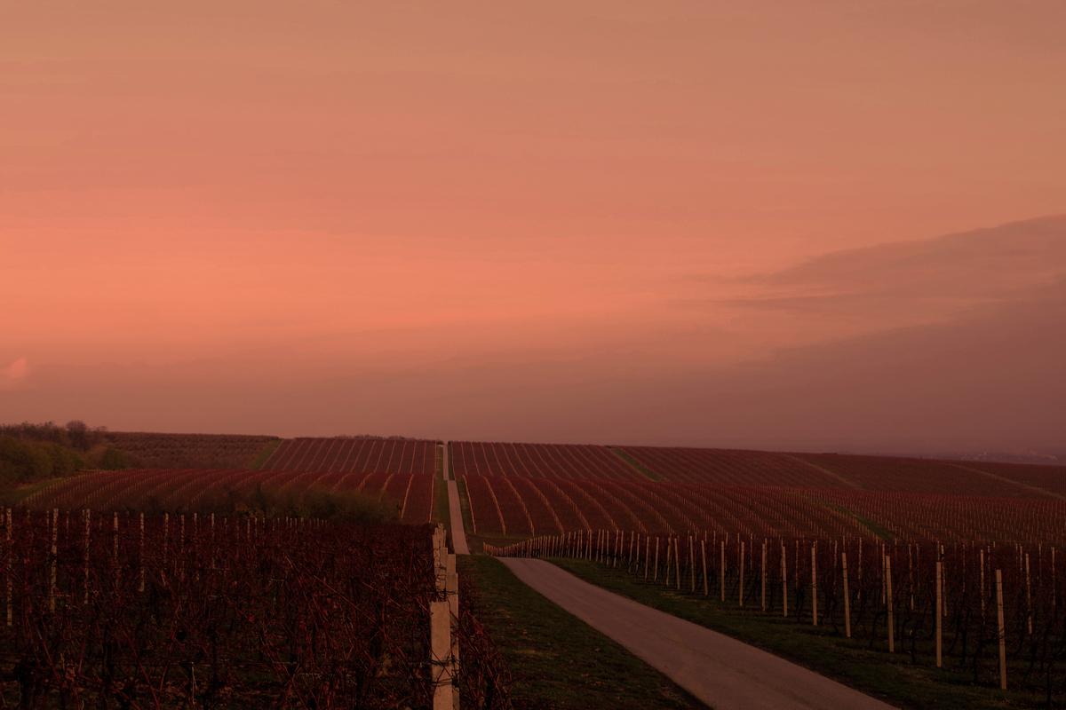 Baranja pocrvenila  Foto: Katarina Arlavi  Ključne riječi: Baranja Vinograd Nebo Priroda