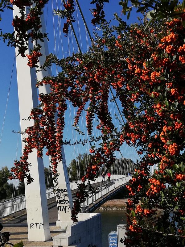 Osječki most  Foto: Nataša Tutnjević  Ključne riječi: Cvijece Most drava Priroda