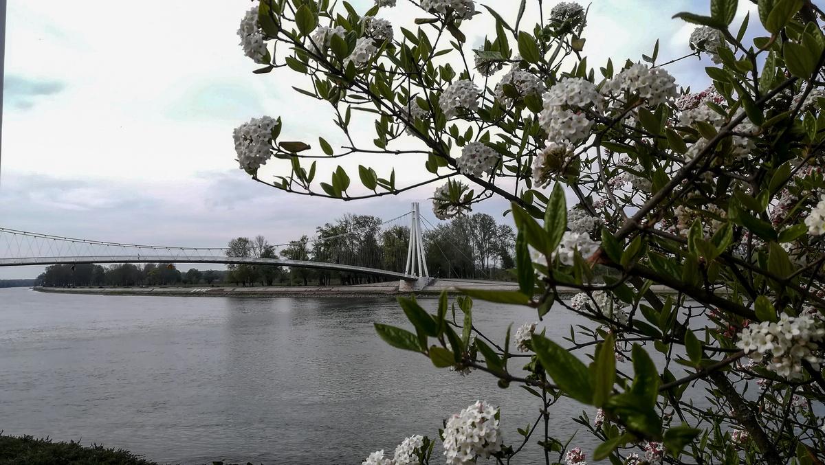 Kroz cvijeće  Foto: Klara Haraminec  Ključne riječi: Cvijece Most Drava Priroda