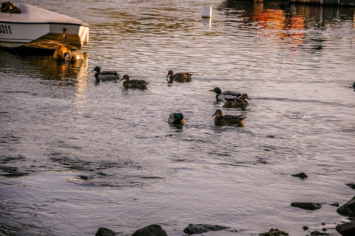 Patke na Dravi  Foto: Marko Dukić  Ključne riječi: patke drava