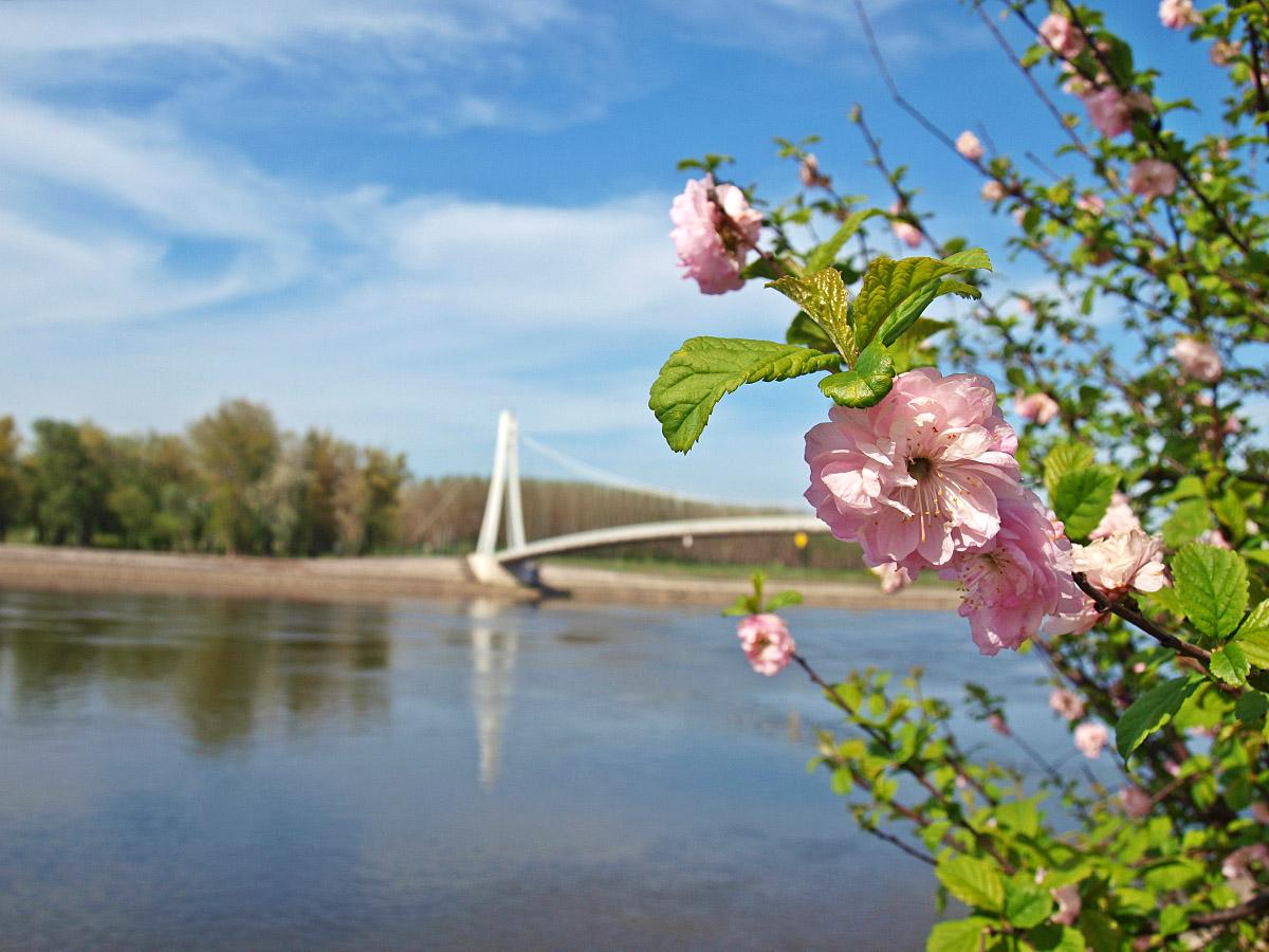 Procvjetalo..  Foto: Stephanie Sarin  Ključne riječi: procvjetalo cvijece drava most proljece