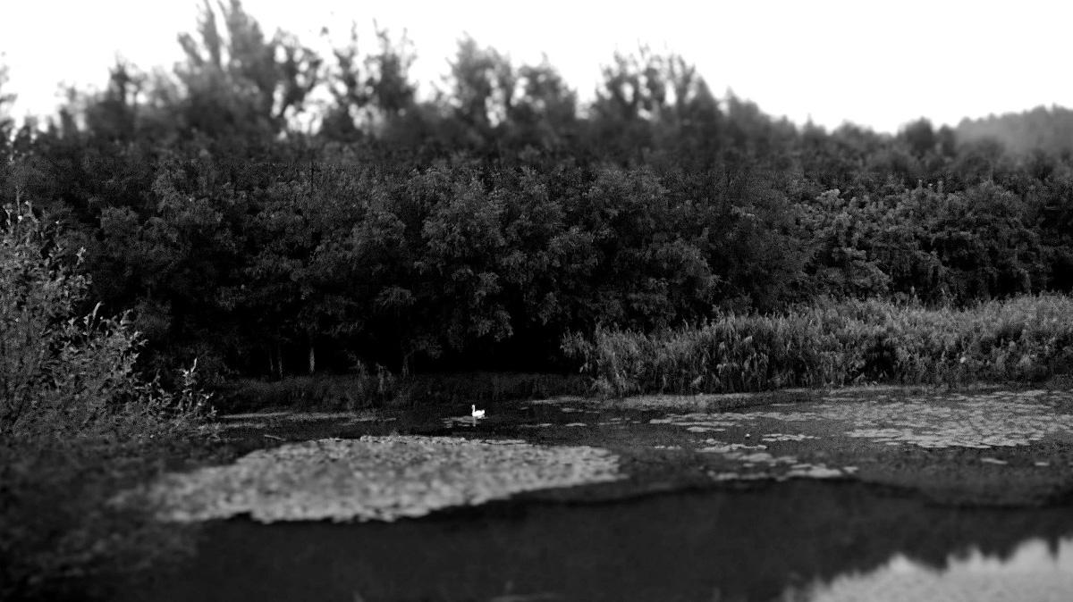 Usamljeni labud  Foto: Antonija Liović  Ključne riječi: labud crno bijelo