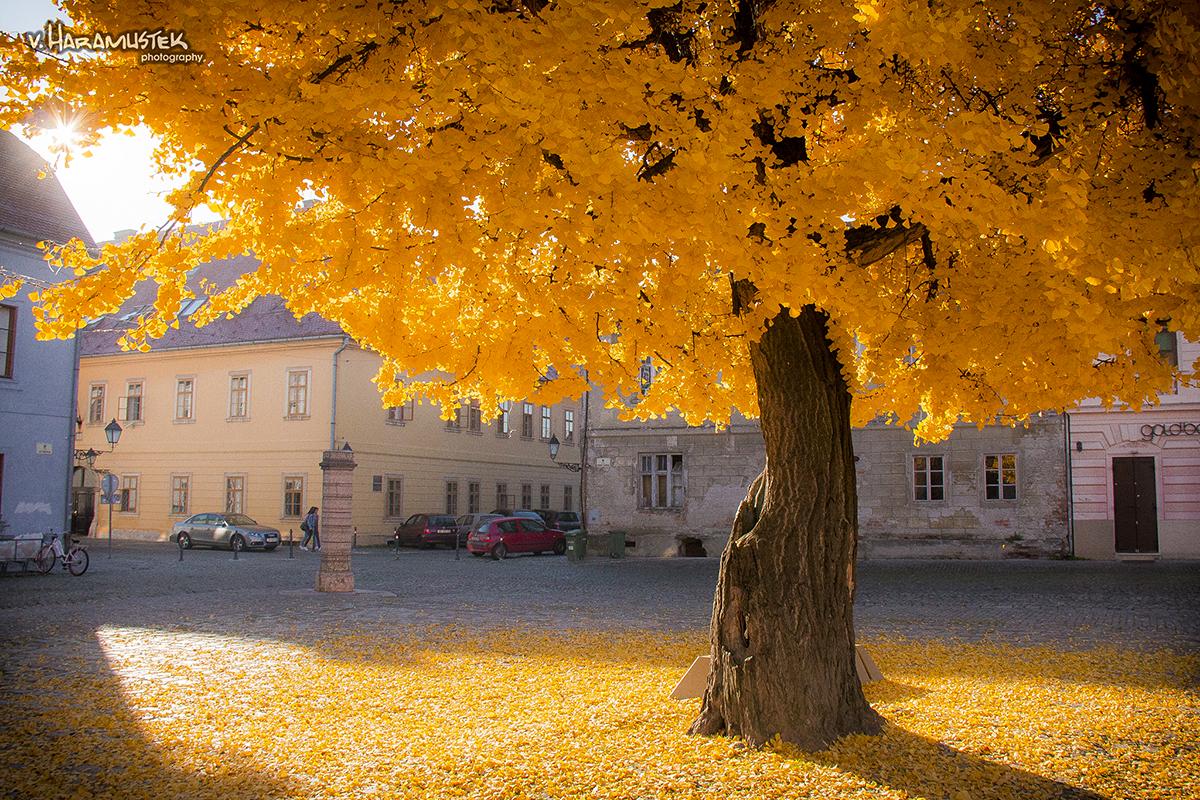 Dobro jutro!  Foto: Vatroslav Haramustek  Ključne riječi: tvrda tvrdja trg jesen drvo lisce boje